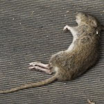 Dead rat or dead animal removal