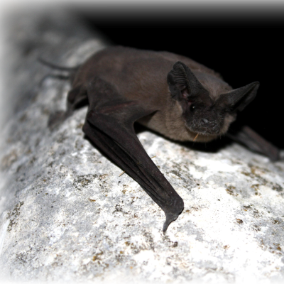 Brown-bat-sitting-on-the-tree-branch-400x400-2