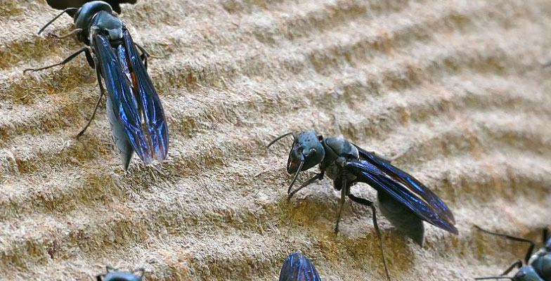 Hornets-and-Wasp-extermination-and-control-by-Pro-Trap