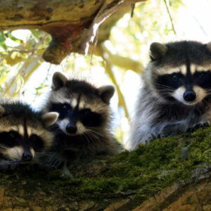 Raccoons-sitting-in-a-tree-400x400