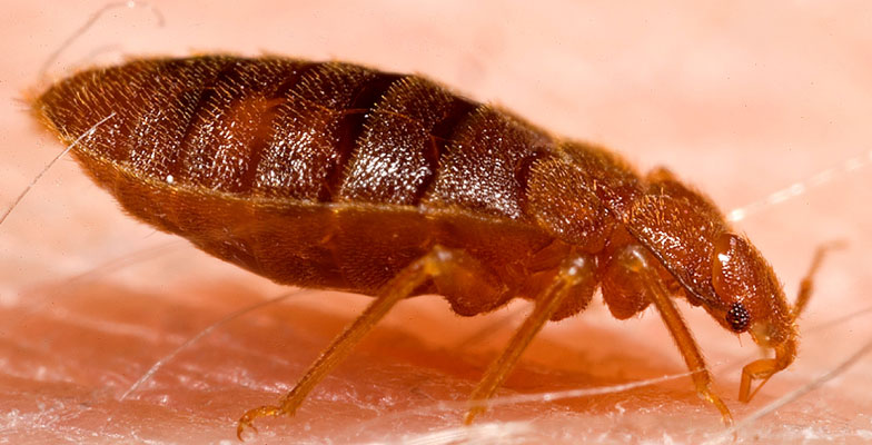 bed-bugs-extermination-and-control-by-Pro-Trap