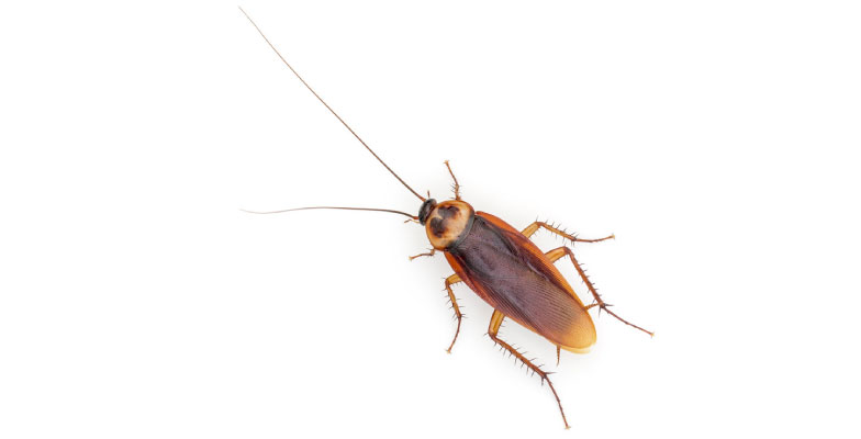 cockroaches-extermination-and-control-by-Pro-Trap