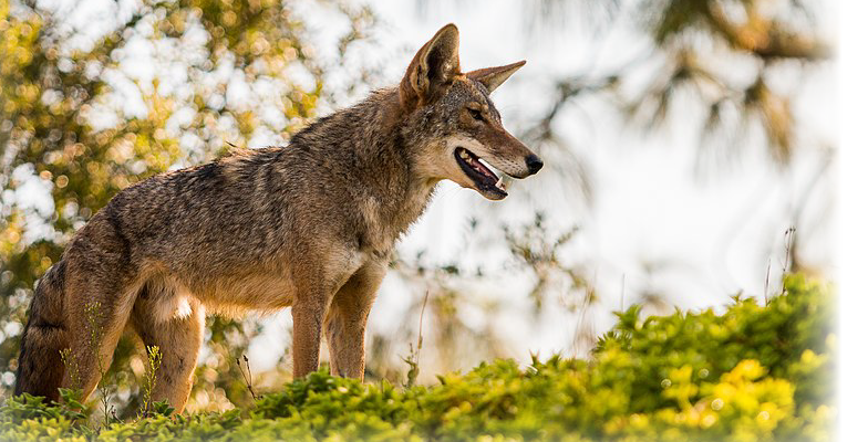 coyote-looking-in-the-distance-pro-trap-can-help-remove-coyotes-from-your-property