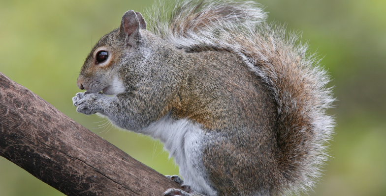 easter-grey-squirrel-removal-by-pro-trap