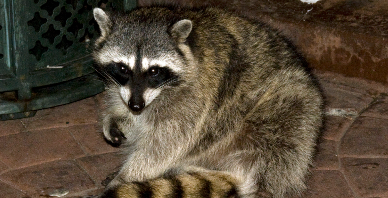 raccoon-removal-by-pro-trap