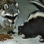 220px-Urban_raccoon_and_skunk